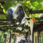 ワイン作り体験(ジュース搾り)&オーガニックワインBBQランチ